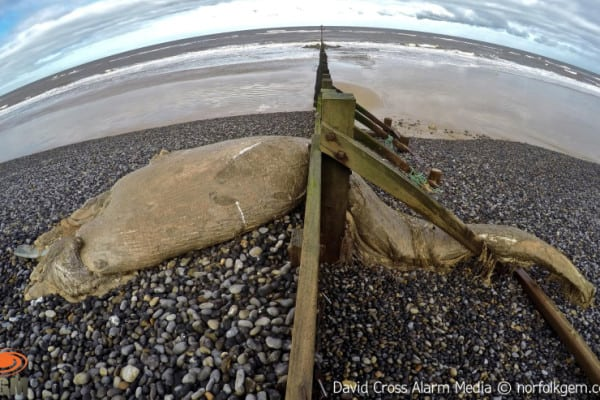 Wednesday-morning-at-Sheringham-Lifeboat-Station.-Dead-Mink-Whale